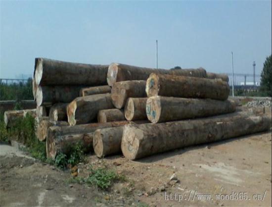 本公司专业从事欧洲榉木原木及板材的进口销售业务,望广大对榉木原木